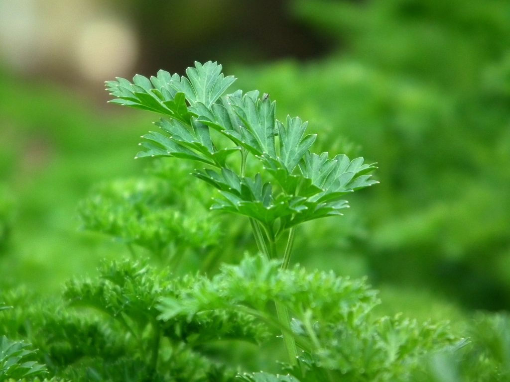Parsley is another fall favorite to plant.